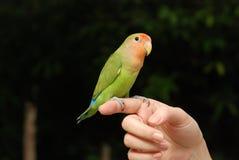 Bello animale domestico del pappagallo fotografie stock libere da diritti