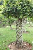 Bello arbusto del cespuglio del cespuglio ruvido siamese sotto forma di fungo fotografie stock libere da diritti