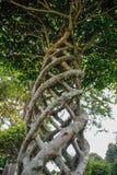 Bello arbusto del cespuglio del cespuglio ruvido siamese sotto forma di fungo fotografie stock