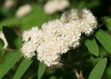 Bello arbusto di fioritura bianco Spirea natura, botanica immagine stock