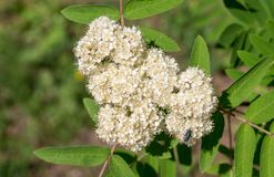 Bello arbusto di fioritura bianco Spirea natura, botanica fotografia stock
