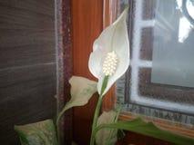 Bello aumentare dei fiori Fotografia Stock Libera da Diritti