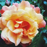 Bello ? aumentato nel giardino fotografia stock