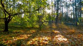 Bello Autumn In Bright Deciduous Tree in anticipo stock footage