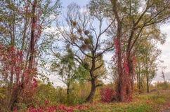 Bello Autumn Landscape Full dei colori e dei mazzi di vischio sull'albero immagine stock