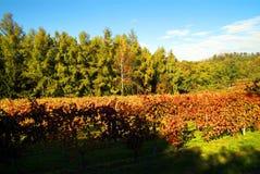 Bello Autumn Landscape With Multi-Colored Lines delle vigne delle vigne Autumn Color Vineyard fotografia stock libera da diritti