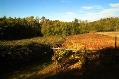 Bello Autumn Landscape With Multi-Colored Lines delle vigne delle vigne Autumn Color Vineyard Fotografia Stock