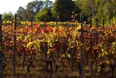 Bello Autumn Landscape With Multi-Colored Lines delle vigne delle vigne Autumn Color Vineyard immagini stock