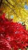 Bello Autumn Red ed alberi gialli immagine stock