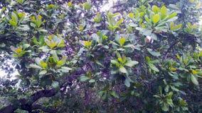 Bello badam di Kaju della frutta Giardino immagine stock