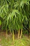 Bello bambù Immagini Stock