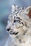 Bello bambino sveglio del leopardo delle nevi Immagini Stock Libere da Diritti