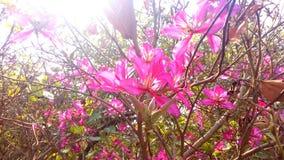 Bello, bellezza, giardino, fioritura, fondo, fiore, pianta, natura, fiore, albero di orchidea, albero di orchidea hawaiano, alber Immagini Stock Libere da Diritti