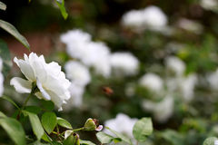Bello bianco è aumentato nel giardino Fotografia Stock