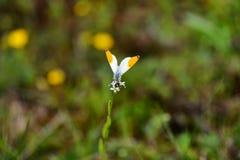 Bello bianco con la farfalla arancio su un fiore, su fondo marrone e verde Fotografia Stock Libera da Diritti