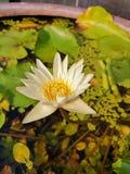 Bello bianco waterlily nello stagno nell'ambito dell'uguagliare luce solare fotografia stock