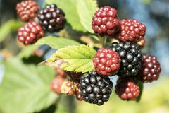 Bello Blackberry selvaggio immagini stock