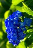bello blu delle ortensie Fotografie Stock Libere da Diritti