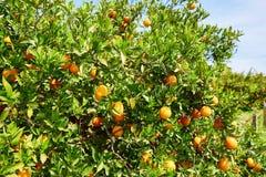 Bello boschetto arancio nel Marocco del Nord Fotografia Stock