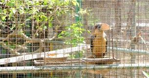 Bello bucero pezzato orientale che sta sul ramo in una gabbia Immagini Stock Libere da Diritti