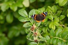 Bello buterfly, insetto sul fondo floreale della natura verde fotografie stock libere da diritti