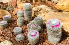 Bello cactus con poco fiore porpora in giardino di rocce, nel fondo e nella struttura fotografia stock libera da diritti