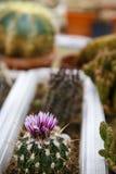 Bello cactus del fiore di colore Fotografia Stock