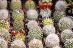 Bello cactus della sfera Fotografia Stock Libera da Diritti