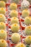Bello cactus della sfera Immagine Stock