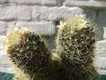 Bello cactus di fioritura immagine stock