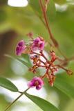 Bello cainito del fiore Fotografia Stock