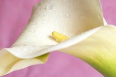 Bello calla lilly sul colore rosa Fotografia Stock Libera da Diritti