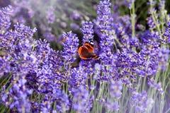 Bello campo con i fiori porpora della lavanda Fotografia Stock Libera da Diritti