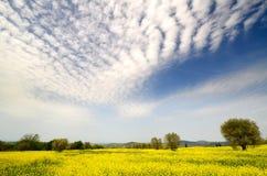 Bello campo dei fiori gialli con di olivo e del cielo nuvoloso blu nella campagna toscana, vicino a Pienza Siena Fotografia Stock