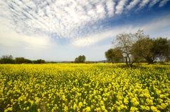 Bello campo dei fiori gialli con di olivo e del cielo nuvoloso blu nella campagna toscana, vicino a Pienza Siena Fotografie Stock Libere da Diritti