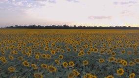 Bello campo dei girasoli Sorvolare piantagione agricola stock footage