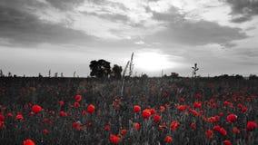 Bello campo dei papaveri rossi del fiore con in bianco e nero video d archivio