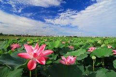 Bello campo del loto sotto cielo blu immagine stock