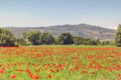 Bello campo del papavero in Toscana Fotografia Stock
