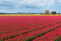 Bello campo del tulipano e casa olandese Immagini Stock