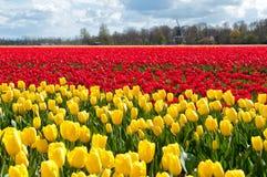 Bello campo del tulipano e mulino a vento olandese Immagini Stock