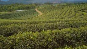 Bello campo della piantagione di tè verde Fotografie Stock