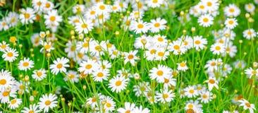 Bello campo di erba verde e di camomiles come fondo, pano Fotografie Stock
