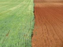 Bello campo di grano che aspetta per essere giallo ed asciutto essere raccolto immagini stock libere da diritti