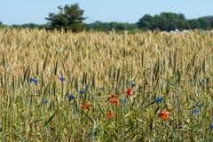 Bello campo di grano verde e giallo con i fiori variopinti Immagini Stock