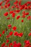 Bello campo di Poppy Flower Bloom On Spring fotografia stock