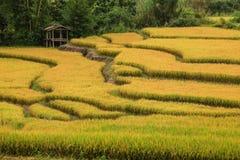 Bello campo dorato del terrazzo del riso immagine stock libera da diritti