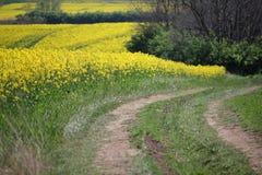Bello campo giallo del seme di ravizzone con la strada non asfaltata fotografie stock libere da diritti