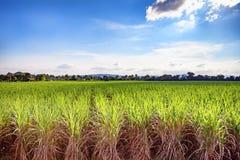 Bello campo verde di crescita fertile della canna da zucchero e dei wi del cielo blu Immagine Stock