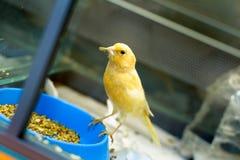 Bello canarino giallo fotografie stock libere da diritti